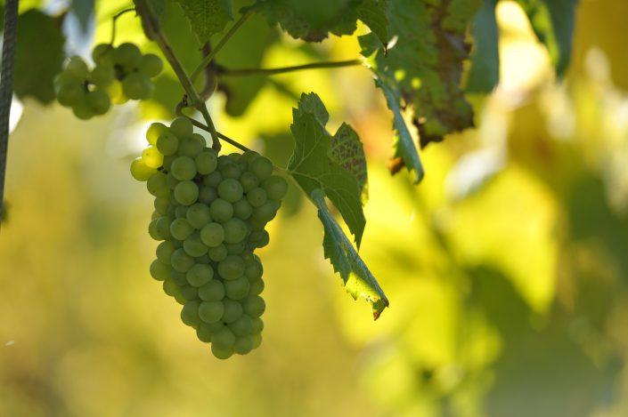 vracko - vino - wein - wine - trta - rebe- vine - 11