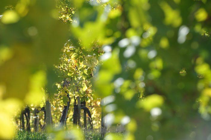 vracko - vino - wein - wine - trta - rebe- vine - 10