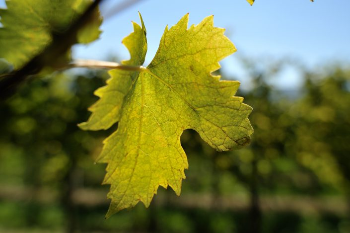vracko - vino - wein - wine - trta - rebe - vine - 5